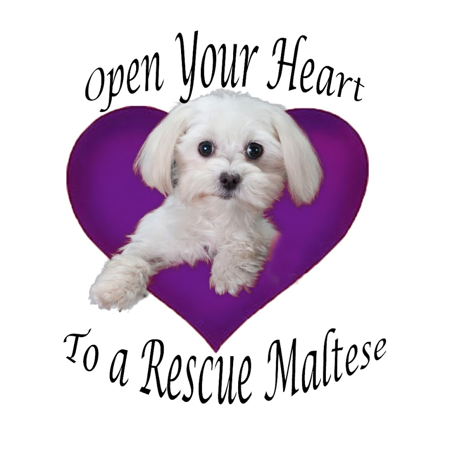open your heart to a rescue maltese